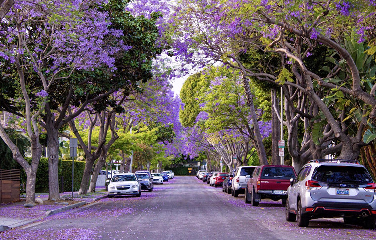 a street with large trees to the left and right as purple flower bloom and cover the ground